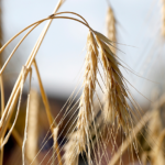 WSJ сообщила об угрозе американским фермерам со стороны производителей зерна в РФ